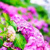 下田公園の紫陽花④