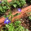 花手毬~絢~とアズーロコンパクトをプランターに植える