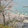 糸島は桜の名所もたくさん、お花見しませんか?