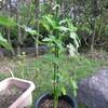 8/29 夏オクラ植えてみました。 19日目