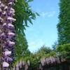 ジョギングで季節の花を愛でる ~赤坂スポーツ公園の藤~