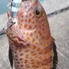この魚が釣れてくると夏がきたなぁと!!いつもの漁港でオオモンハタ(ショウモンハタ)が釣れた!!いやー、夏だなぁ。