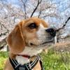 桜さくら2021