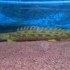 【送料無料】ポリプテルス アンソルギー(ギニア産 ワイルド)A個体《48〜50cm前後》