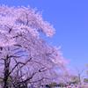 富士山と桜を求めて(1)ゆい桜えび館と岩本山公園で至福の時