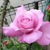 色とりどりの「春バラと田んぼ鳥」(1)