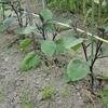 ナス科野菜の成長