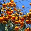柿が豊作すぎる件について