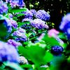 福井の紫陽花の名所、足羽山公園