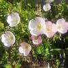 【今日のお花365日】16~20日目「昼咲き月見草・白い胡蝶蘭・青の紫陽花・白いバラ・サツキ」