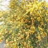 庭のエニシダが満開♪ガーデニング初心者さんにおススメの花!!