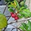 木斛(もっこく)の実