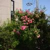 2014/05/23 アンジェラとバレード 今年は花もさることながらシュートも沢山
