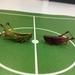 野性イナゴ VS 養殖イナゴ