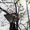 3月末:目黒川沿いをお写んぽ。その1