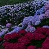 約71000株のアジサイが咲き誇る 福岡県北九州市 高塔山公園