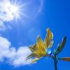 【6月11日:エゾカンゾウ観察6】小鳥と青空とエゾカンゾウと。