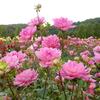 ダリア・平和:世羅高原農場(広島県世羅町)