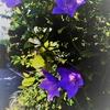 ★桔梗のような、群青色のような、ラピスラズリとサファイヤを混合したかのような、