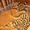 【猫カフェ】希少なカラカルとサーバルキャットに会えるタイのThe Animal Cafe Bangkokは、閉園したタイガーテンプルの後釜になる??