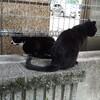 地域猫 鉢割れと黒