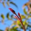 ハゴロモジャスミンの花芽