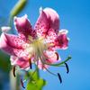 咲き始めたカノコユリ