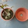 モミジ鉢植えの植え替え2018
