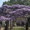江南 藤まつり2018開幕前、曼陀羅寺公園の藤を見に行ってきました。
