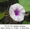 サツマイモ6. サツマイモの花は,アサガオそっくり.サツマイモはアサガオと同じ属なんですね.このサツマイモ属の種は,皆アサガオそっくりの花を咲かせます.アメリカアサガオはいうまでもなく,ヨルガオ,ルコウソウ---.そして,空心菜の花もサツマイモやアサガオと似た花です.