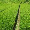 緑の茶畑から茶色の茶畑に ~中切り作業1回目~