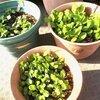 家庭菜園をしています