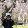 近所で花見と桜まつりの花火