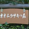 国蝶「オオムラサキ」羽化に出逢いました!