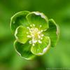 緑の二輪草
