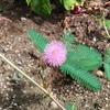 オジギソウの花が咲く時期・季節はいつか