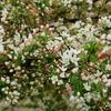 花いっぱいの季節 コナシの花が満開に