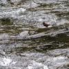 カワガラスのダイビング漁 Part Ⅰ