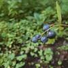 ブルーベリー、初収穫