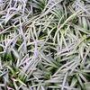 ナナフシ食草ノオト(3)リュウノヒゲ