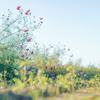 10月下旬の見頃が待ち遠しいコスモスアリーナふきあげ 開花状況