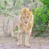 世界一周104日目後編 ケニア(38) マサイマラ国立公園1日目 〜ついに出会った野生のライオンは神々しいまでにカッコよかった〜