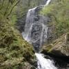 白猪の滝でショウジョウバカマ