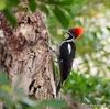 ベリーズ マヤ遺跡の、Lineated Woodpecker (ラインイーテッド ウッドペッカー)