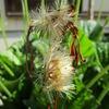 ちょっとピンボケ。ガーベラの綿毛、アゲハの幼虫。