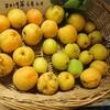 杏の収穫…