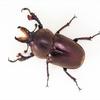 タスマニアキンイロクワガタの飼育記録 ~幼虫から成虫・産卵まで~