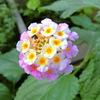 ランタナ&お彼岸のお仏壇お供えの花(仏花)のお知らせ(プリザーブドフラワー ハートローズ)