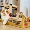 【猫学】猫が段ボールを好きな理由6つ。愛猫短足マンチカンの写真付きでまとめました。