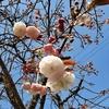 ボタンザクラの開花を宣言